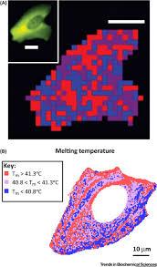 macromolecular crowding in vitro in vivo and in between trends