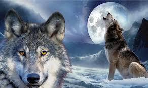imagenes sorprendentes de lobos la parábola de los dos lobos tardarás menos de un minuto en leerla