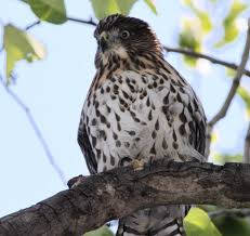 how to keep hawks out of your yard u2013 the mercury news
