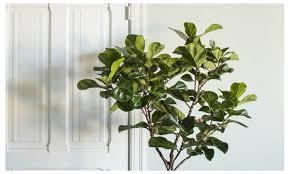 ficus lyrata fiddle leaf fig tree houseplant live great indoor