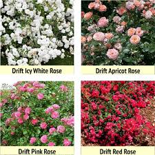 roses colors beyond s day roses for your garden nature s