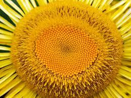 single sun flower wallpapers yellow sunflower wallpaper