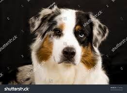 australian shepherd jack russell mix portrait beautiful blue merle australian shepherd stock photo