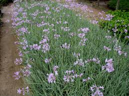 plant guide tulbaghia violacea tricolor variegated