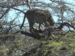 leopard a zebra in a tree in the serengeti stock footage