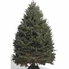 balsam fir christmas tree 7 8 ft canadian balsam fir christmas tree includes tree stand deliv