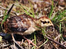 grouse facts