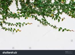 climbing fig creeping fig creeping rubber stock photo 94355119