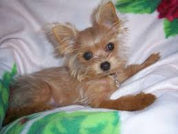 chorkie haircut styles 18 best chorkie images on pinterest cubs doggies and fur babies