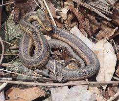 identify snakes of iowa