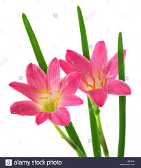 Rain Lily Zephyranthes Rosea Or Rain Lily Stock Photo Royalty Free Image