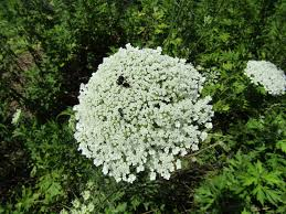 plants native to maryland maryland biodiversity project queen anne u0027s lace daucus carota