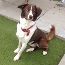australian shepherd x lab 10 unreal springer spaniel cross breeds you have to see to believe