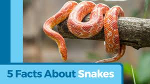 what do corn snakes eat u0026 how to care for them petmd