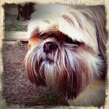 51 best lhasa apsos images on pinterest lhasa apso dog cat and