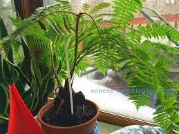 Tree Care Tips To Make by Sudsy Life Hāpu U0027u Hawaiian Tree Fern Indoor Care Secrets