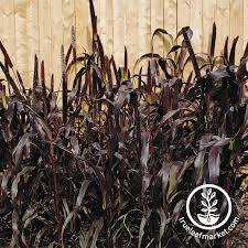 ornamental millet purple majesty seed at wholesale prices