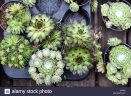 the succulent in a pot is an excellent decoration for home and