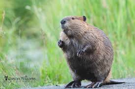 Wyoming wildlife tours images American beaver in grand teton national park jackson hole jpg