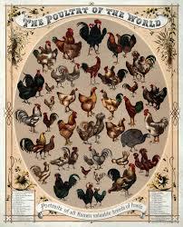 list of chicken breeds wikipedia