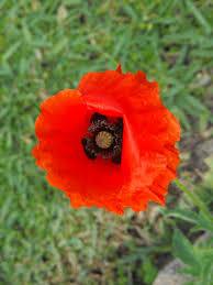 flower of the day u2013 april 13 2017 u2013 poppies