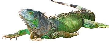 imágenes de iguanas verdes iguana verde todo lo que necesitas saber sobre este reptil bekia