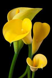 Yellow Lilies Four Yellow Calla Lilies رائعة الجمال سبحان الله Flowers