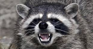 Raccoons In Backyard Surge Of Vicious Raccoon Attacks On People