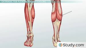 Anatomy Of Body Muscles Leg Muscles Anatomy Support U0026 Movement Video U0026 Lesson