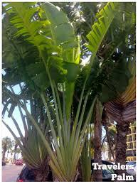 plumeria u0027s are one of my favorite plants i love to put them