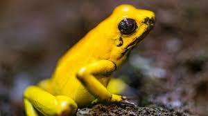 poison dart frogs might make good medicine shots health news npr