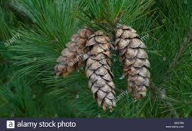 white pine cone weymouth pine cone stock photos u0026 weymouth pine cone stock images