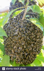 bee hive in a tree wild bee hive spain europe stock photo