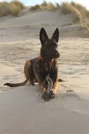 belgian shepherd for sale philippines 315 best dogs n images on pinterest belgian shepherd