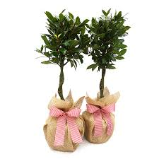 mini plants plants gift pair mini stemmed bay trees by giftaplant