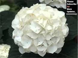 white hydrangeas white hydrangea beautiful pictures of white folwers phula pics