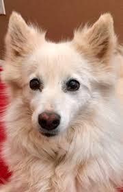 american eskimo dog growling american eskimo dog dog for adoption in camarillo ca adn 548370