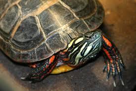 Ringed Map Turtle En Pahalı Kaplumbağa Türleri Ve Diğer Türler Resimli