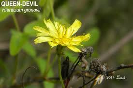 native plant source yellow blooms what florida native plant is blooming today page 3
