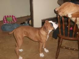 boxer dog with tail docked tail boxer forum boxer breed dog forums