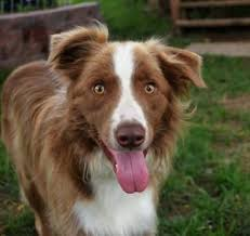 australian shepherd quad cities midwest border collie rescue u2013 saving dogs u2026 changing lives