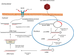 molecules free full text targeting carbonic anhydrase ix