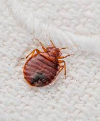 Bed Bug Com 10 Facts You May Not Know About Bed Bugs Part 1 Blog Rocky