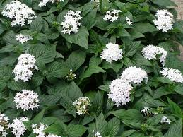pentas flower butterfly white pentas
