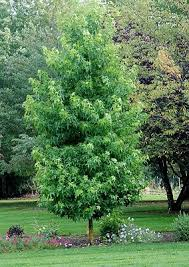 23 best ornamental trees shade trees images on shade