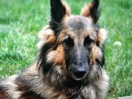 belgian shepherd breeds alsatian shepalute breeders pin by astrid on isa belgian