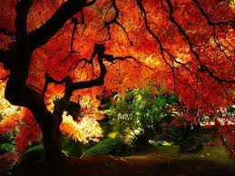 miscellaneous deep rich red tree leaves colorful fall maple fire