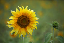 sunflower images pexels free stock photos