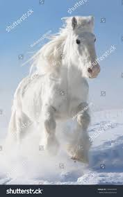 white mustang horse white horse runs gallop winter on stock photo 126943334 shutterstock