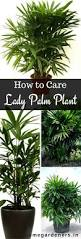 sweet viburnum 200mm pot viburnum rhapis palm care how to grow and care for the lady palm plant